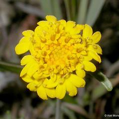 Flowers: Chaenactis glabriuscula. ~ By Keir Morse. ~ Copyright © 2019 Keir Morse. ~ www.keiriosity.com ~ CalPhotos - calphotos.berkeley.edu/flora/