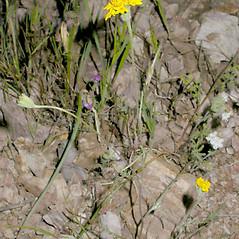 Plant form: Chaenactis glabriuscula. ~ By Keir Morse. ~ Copyright © 2019 Keir Morse. ~ www.keiriosity.com ~ CalPhotos - calphotos.berkeley.edu/flora/