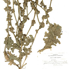 Plant form: Cichorium endivia. ~ By CONN Herbarium. ~ Copyright © 2019 CONN Herbarium. ~ Requests for image use not currently accepted by copyright holder ~ U. of Connecticut Herbarium - bgbaseserver.eeb.uconn.edu/