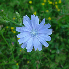 Flowers: Cichorium intybus. ~ By Arthur Haines. ~ Copyright © 2018. ~ arthurhaines[at]wildblue.net
