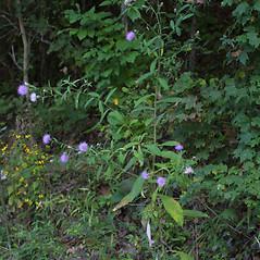 Plant form: Cirsium altissimum. ~ By Steven Baskauf. ~ Copyright © 2018 CC-BY-NC-SA. ~  ~ Bioimages - www.cas.vanderbilt.edu/bioimages/frame.htm