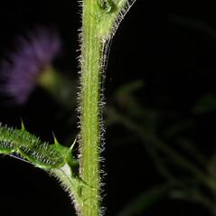 Stems: Cirsium altissimum. ~ By Steven Baskauf. ~ Copyright © 2018 CC-BY-NC-SA. ~  ~ Bioimages - www.cas.vanderbilt.edu/bioimages/frame.htm