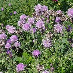 Plant form: Cirsium arvense. ~ By Glen Mittelhauser. ~ Copyright © 2019 Glen Mittelhauser. ~ www.mainenaturalhistory.org