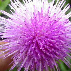 Flowers: Cirsium discolor. ~ By Glen Mittelhauser. ~ Copyright © 2020 Glen Mittelhauser. ~ www.mainenaturalhistory.org
