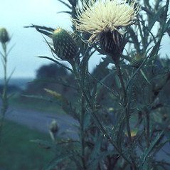 Plant form: Cirsium discolor. ~ By Lawrence Newcomb. ~ Copyright © 2019 New England Wild Flower Society. ~ Image Request, images[at]newenglandwild.org