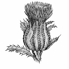 Flowers: Cirsium horridulum. ~ By Elizabeth Farnsworth. ~ Copyright © 2018 New England Wild Flower Society. ~ Image Request, images[at]newenglandwild.org