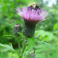 Flowers: Cirsium muticum. ~ By Arthur Haines. ~ Copyright © 2018. ~ arthurhaines[at]wildblue.net