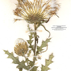 Fruits: Cirsium pumilum. ~ By CONN Herbarium. ~ Copyright © 2018 CONN Herbarium. ~ Requests for image use not currently accepted by copyright holder ~ U. of Connecticut Herbarium - bgbaseserver.eeb.uconn.edu/