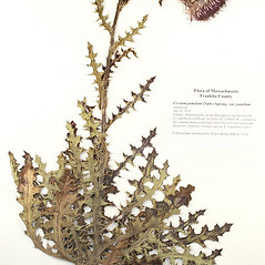 Plant form: Cirsium pumilum. ~ By University of Massachusetts Herbarium (MASS). ~ Copyright © 2018 University of Massachusetts Herbarium. ~ University of Massachusetts Herbarium ~ U. of Massachusetts Herbarium