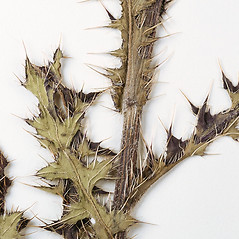 Stems: Cirsium pumilum. ~ By University of Massachusetts Herbarium (MASS). ~ Copyright © 2018 University of Massachusetts Herbarium. ~ University of Massachusetts Herbarium ~ U. of Massachusetts Herbarium