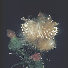 Fruits: Cirsium vulgare. ~ By George Lienau. ~ Copyright © 2017 New England Wild Flower Society. ~ Image Request, images[at]newenglandwild.org