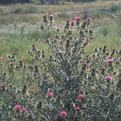 Plant form: Cirsium vulgare. ~ By John Lynch. ~ Copyright © 2017 New England Wild Flower Society. ~ Image Request, images[at]newenglandwild.org