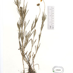 Plant form: Coreopsis grandiflora. ~ By The Herbarium of The Morton Arboretum (MOR). ~ Copyright © 2019 The Morton Arboretum. ~ Ed Hedborn, The Morton Arboretum ~ The Herbarium of The Morton Arboretum