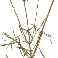 Stems: Coreopsis grandiflora. ~ By CONN Herbarium. ~ Copyright © 2018 CONN Herbarium. ~ Requests for image use not currently accepted by copyright holder ~ U. of Connecticut Herbarium - bgbaseserver.eeb.uconn.edu/