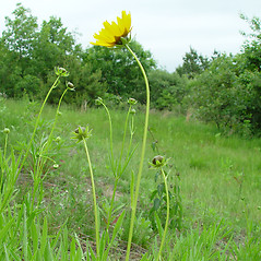 Plant form: Coreopsis lanceolata. ~ By Arthur Haines. ~ Copyright © 2018. ~ arthurhaines[at]wildblue.net