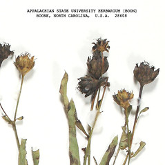 Fruits: Coreopsis major. ~ By Derick B. Poindexter. ~ Copyright © 2018 Derick B. Poindexter. ~ dpoindex[at]live.unc.edu ~ Vascular Flora of Alleghany County, NC - vascularflora.appstate.edu/