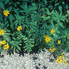 Plant form: Coreopsis major. ~ By John Lynch. ~ Copyright © 2019 New England Wild Flower Society. ~ Image Request, images[at]newenglandwild.org