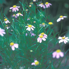 Plant form: Coreopsis rosea. ~ By John Lynch. ~ Copyright © 2017 New England Wild Flower Society. ~ Image Request, images[at]newenglandwild.org