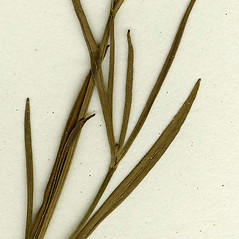 Leaves: Coreopsis rosea. ~ By CONN Herbarium. ~ Copyright © 2018 CONN Herbarium. ~ Requests for image use not currently accepted by copyright holder ~ U. of Connecticut Herbarium - bgbaseserver.eeb.uconn.edu/