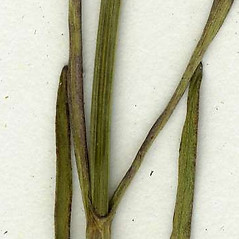 Stems: Coreopsis rosea. ~ By CONN Herbarium. ~ Copyright © 2018 CONN Herbarium. ~ Requests for image use not currently accepted by copyright holder ~ U. of Connecticut Herbarium - bgbaseserver.eeb.uconn.edu/