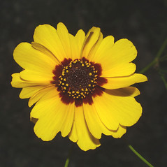 Flowers: Coreopsis tinctoria. ~ By Steven Baskauf. ~ Copyright © 2017 CC-BY-NC-SA. ~  ~ Bioimages - www.cas.vanderbilt.edu/bioimages/frame.htm