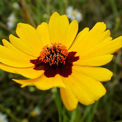 Flowers: Coreopsis tinctoria. ~ By David G. Smith. ~ Copyright © 2017. ~ dgsmith3[at]gmail.com ~ Delaware Wildflowers - delawarewildflowers.org/