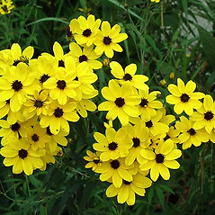 Flowers: Coreopsis tripteris. ~ By Paul S. Drobot. ~ Copyright © 2020 Paul S. Drobot. ~ www.plantstogrow.com, www.plantstockphotos.com ~ Robert W. Freckmann Herbarium, U. of Wisconsin-Stevens Point