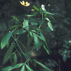 Plant form: Coreopsis tripteris. ~ By Lawrence Newcomb. ~ Copyright © 2019 New England Wild Flower Society. ~ Image Request, images[at]newenglandwild.org
