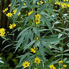 Leaves: Coreopsis tripteris. ~ By Paul S. Drobot. ~ Copyright © 2020 Paul S. Drobot. ~ www.plantstogrow.com, www.plantstockphotos.com ~ Robert W. Freckmann Herbarium, U. of Wisconsin-Stevens Point