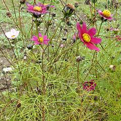 Plant form: Cosmos bipinnatus. ~ By Vojtech Herman . ~ Copyright © 2018 V. Herman . ~ www.biolib.cz ~ Biolib - www.biolib.cz