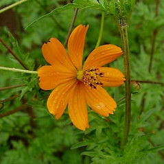 Flowers: Cosmos sulphureus. ~ By Michael Hassler. ~ Copyright © 2019 Michael Hassler. ~ Requests for image use not currently accepted by copyright holder ~ Flowering Plants of Pennsylvania - www.botanik.uni-karlsruhe.de/FloraKA/PA/list.php