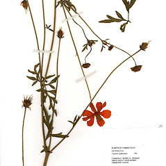 Plant form: Cosmos sulphureus. ~ By CONN Herbarium. ~ Copyright © 2018 CONN Herbarium. ~ Requests for image use not currently accepted by copyright holder ~ U. of Connecticut Herbarium - bgbaseserver.eeb.uconn.edu/