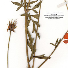 Leaves: Cosmos sulphureus. ~ By CONN Herbarium. ~ Copyright © 2018 CONN Herbarium. ~ Requests for image use not currently accepted by copyright holder ~ U. of Connecticut Herbarium - bgbaseserver.eeb.uconn.edu/