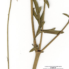 Stems: Cosmos sulphureus. ~ By CONN Herbarium. ~ Copyright © 2017 CONN Herbarium. ~ Requests for image use not currently accepted by copyright holder ~ U. of Connecticut Herbarium - bgbaseserver.eeb.uconn.edu/