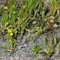 Plant form: Cotula coronopifolia. ~ By Keir Morse. ~ Copyright © 2019 Keir Morse. ~ www.keiriosity.com ~ www.keiriosity.com