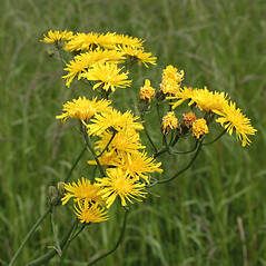Flowers: Crepis biennis. ~ By Paul Busselen . ~ Copyright © 2019 Paul Busselen . ~ No permission necessary; any use permitted ~ Plant Guide, Biology Department, Katholieke Universiteit Leuven, Campus Kortrijk