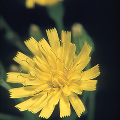 Flowers: Crepis capillaris. ~ By George Lienau. ~ Copyright © 2019 New England Wild Flower Society. ~ Image Request, images[at]newenglandwild.org