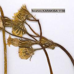 Flowers: Crepis foetida. ~ By Dr. Nasip Demirkus. ~ Copyright © 2019 Dr. Nasip Demirkus. ~ nasip[at]hotmail.com