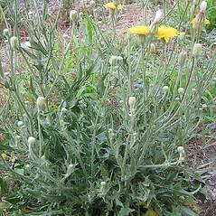 Plant form: Crepis foetida. ~ By Franco Giordana. ~ Copyright © 2018 Franco Giordana. ~ francogrd[at]gmail.com ~ Acta Plantarum -  www.actaplantarum.org