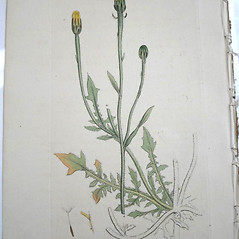 Plant form: Crepis foetida. ~ By James Sowerby. ~  Public Domain. ~  ~ Robert W. Freckmann Herbarium, U. of Wisconsin-Stevens Point