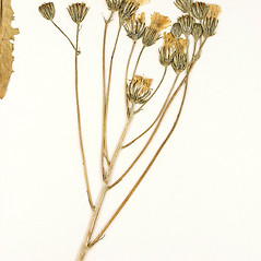 Flowers: Crepis nicaeensis. ~ By University of Massachusetts Herbarium (MASS). ~ Copyright © 2018 University of Massachusetts Herbarium. ~ University of Massachusetts Herbarium ~ U. of Massachusetts Herbarium