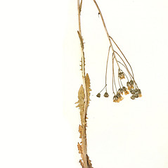 Plant form: Crepis nicaeensis. ~ By University of Massachusetts Herbarium (MASS). ~ Copyright © 2018 University of Massachusetts Herbarium. ~ University of Massachusetts Herbarium ~ U. of Massachusetts Herbarium