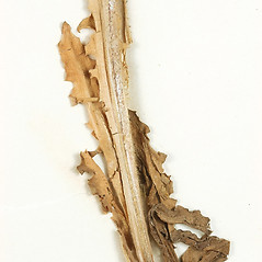 Stems: Crepis nicaeensis. ~ By University of Massachusetts Herbarium (MASS). ~ Copyright © 2018 University of Massachusetts Herbarium. ~ University of Massachusetts Herbarium ~ U. of Massachusetts Herbarium