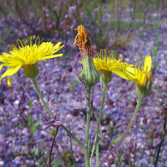Flowers: Crepis tectorum. ~ By Arthur Haines. ~ Copyright © 2017. ~ arthurhaines[at]wildblue.net
