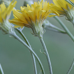 Flowers: Crepis tectorum. ~ By Arieh Tal. ~ Copyright © 2020 Arieh Tal. ~ http://botphoto.com/ ~ Arieh Tal - botphoto.com