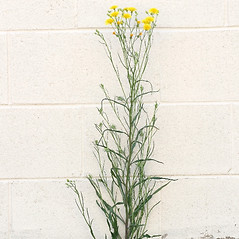 Plant form: Crepis tectorum. ~ By Arieh Tal. ~ Copyright © 2020 Arieh Tal. ~ http://botphoto.com/ ~ Arieh Tal - botphoto.com