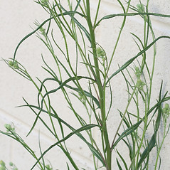 Leaves: Crepis tectorum. ~ By Arieh Tal. ~ Copyright © 2020 Arieh Tal. ~ http://botphoto.com/ ~ Arieh Tal - botphoto.com