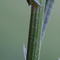 Stems: Crepis tectorum. ~ By Arieh Tal. ~ Copyright © 2020 Arieh Tal. ~ http://botphoto.com/ ~ Arieh Tal - botphoto.com