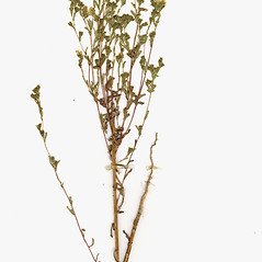Plant form: Deinandra fasciculata. ~ By CONN Herbarium. ~ Copyright © 2019 CONN Herbarium. ~ Requests for image use not currently accepted by copyright holder ~ U. of Connecticut Herbarium - bgbaseserver.eeb.uconn.edu/