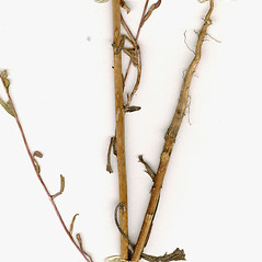 Stems: Deinandra fasciculata. ~ By CONN Herbarium. ~ Copyright © 2017 CONN Herbarium. ~ Requests for image use not currently accepted by copyright holder ~ U. of Connecticut Herbarium - bgbaseserver.eeb.uconn.edu/